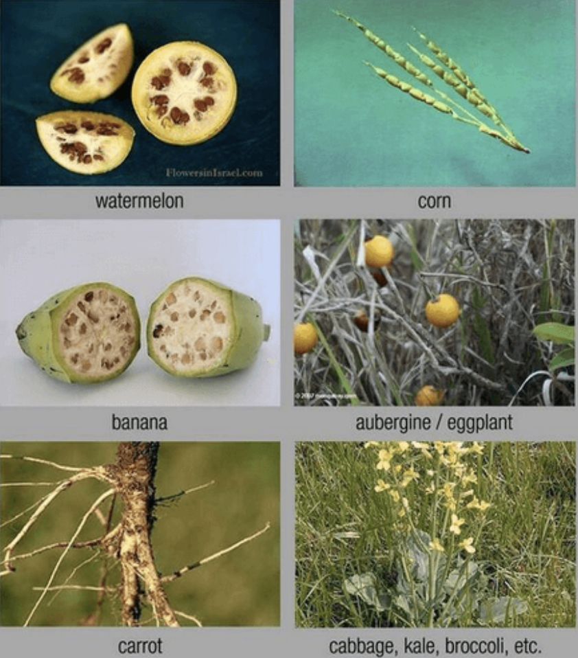 Early ancestors of the food we eat today (Source: Geneliteracyproject.org)